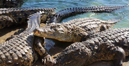 Crocodile Blood Studies